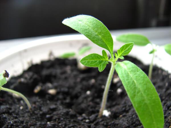 Lápices ecológicos con semilla. Lápices plantables