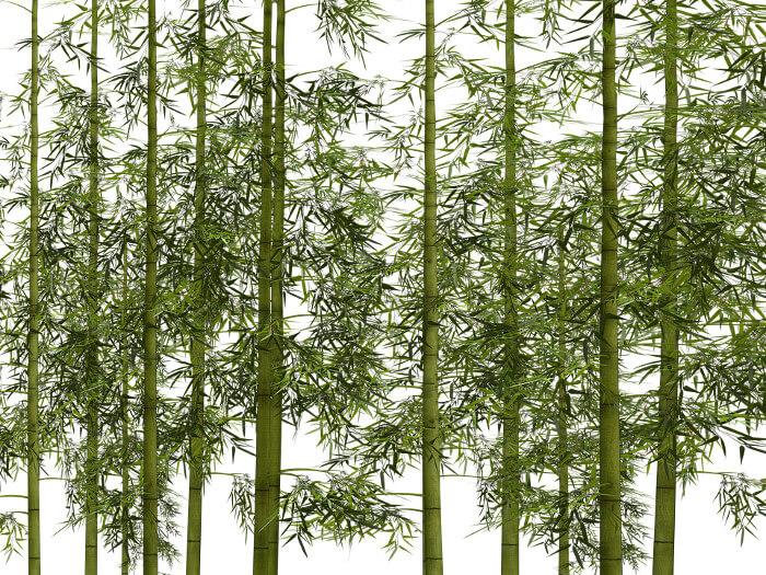 Plantación de bambú