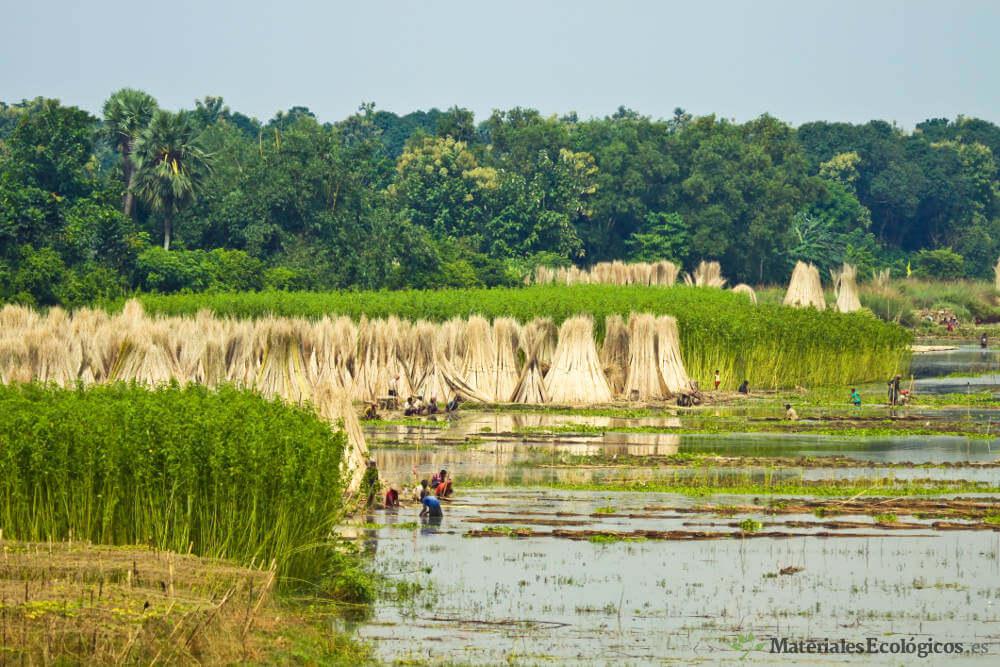 Plantación de yute en bengala, india