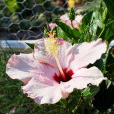flor del hibisco